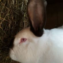 Кролики объявление продам
