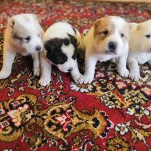 Продам щенков среднеазиацкой авчарки объявление продам