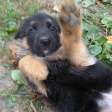 Продам щенков немецкой овчарки объявление продам