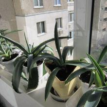 Комнатное растение агава мексиканская в дар объявление продам