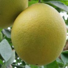 Лимон 12 сортов и помело веточки на укоренение! объявление продам