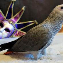 Купить попугая жако, ара, какаду , амазон, +375297624265 объявление продам