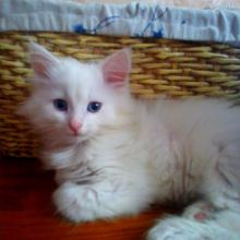 Сибирский котенок объявление продам