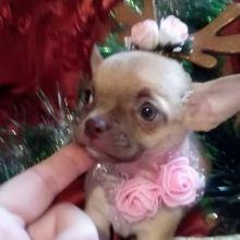 Чихуахуа щенок девочка объявление продам