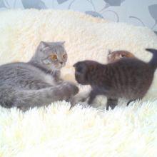 Шотландские котята объявление продам
