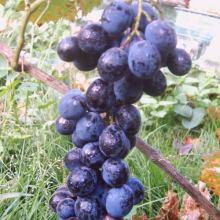 Саженцы винограда объявление продам