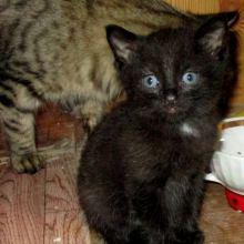 Пушистые чёрный котик и трёхцветная кошечка объявление отдам даром