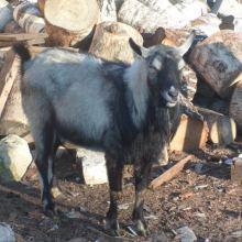 Племянной козёл объявление продам