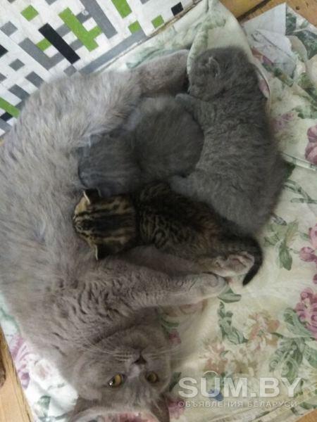 Британские котята объявление продам