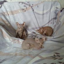 Продам котят породы Канадский сфинкс объявление продам