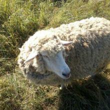 Продам овцу объявление продам