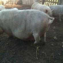 Супоросная свинья объявление продам