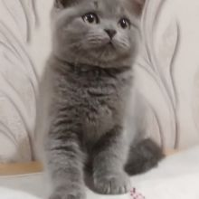 Очаровательные британские котята объявление продам