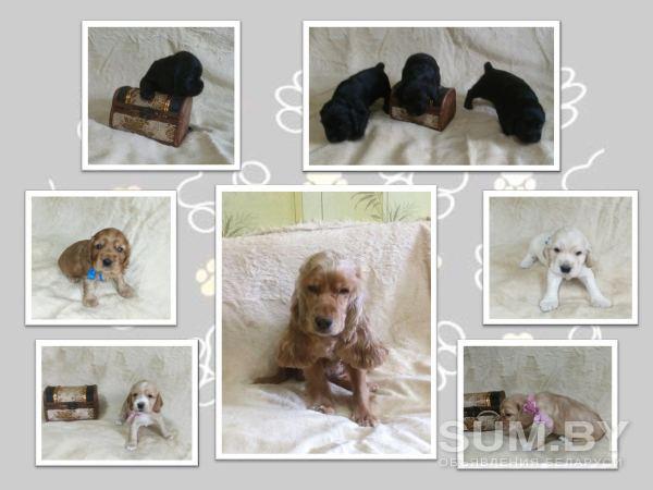 Продаются щенки английского кокер - спаниеля объявление продам