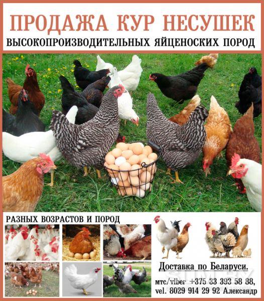 Продажа кур-несушек высокопроизводительных яйценоских пород объявление продам