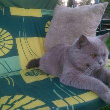 Вязка, лиловый британский кот объявление услуга