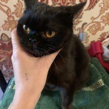 Отдадим кошку британку в заботливые руки объявление отдам даром