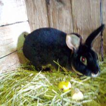 Кролики рэксы объявление продам