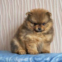 Померанский шпиц, щенок объявление продам
