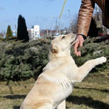 Предлагается подрощенный щенок среднеазиатской овчарки, кобель и сука, все прививки сделаны объявление продам