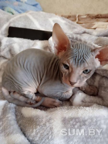 Котята донского сфинкса объявление продам