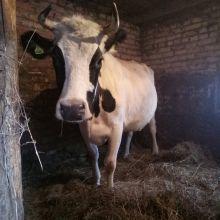 Корова тельная объявление продам