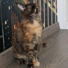 Котята мэйн-кун объявление продам