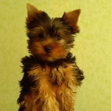 Продать щенка объявление продам