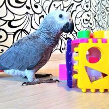 Купить попугая большого жако +375297624265 объявление продам