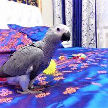 Купить попугая говорящего жако +375297624265 объявление продам